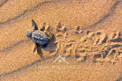 Turtles come during the period of May to August to lay their eggs on Cyprus beaches.