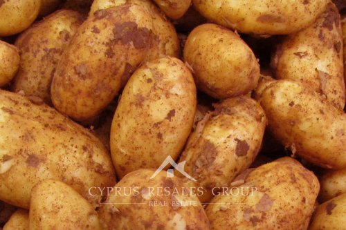 Due to Cyprus' mild climate the famous Cyprus potato is harvested year-round!